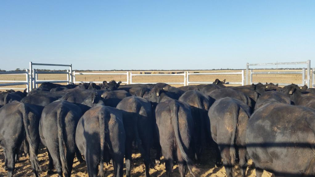 19 NSM Heifers & 20 Calves