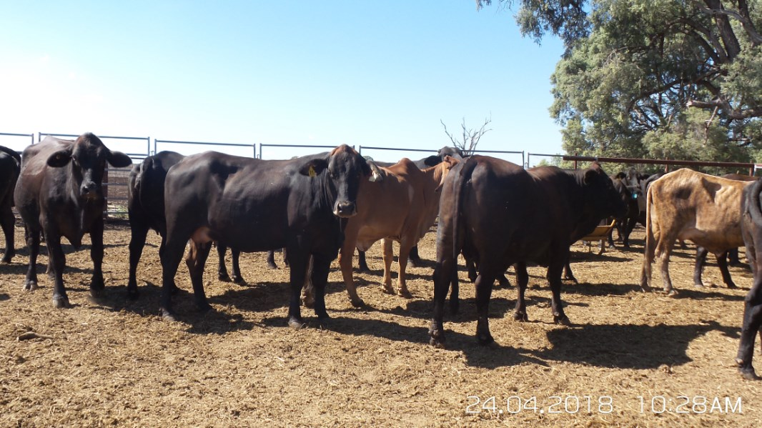 37 Station Mated Cows & 37 Calves