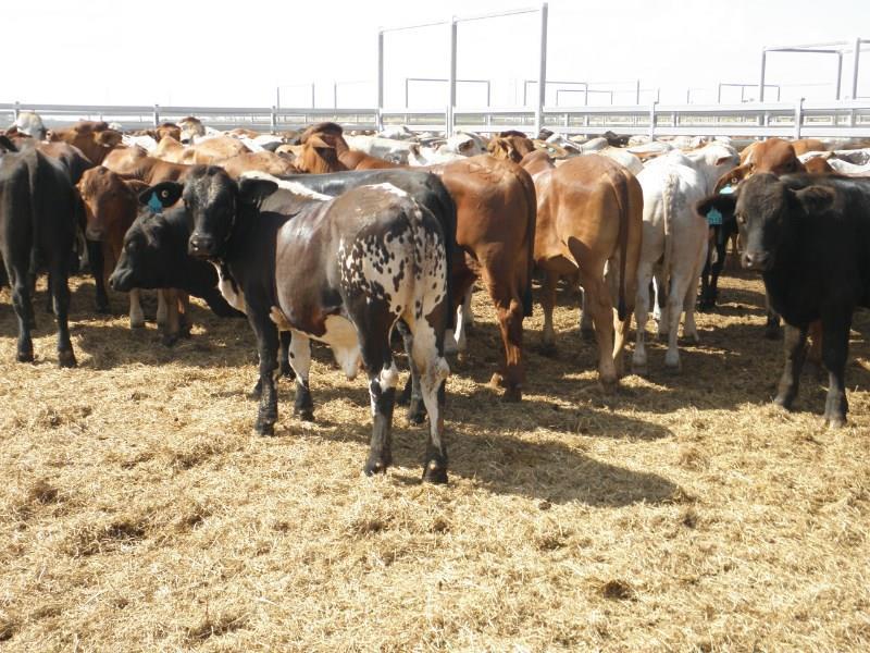 128 Backgrounder Steers