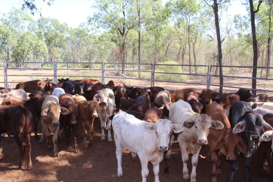 66 Station Mated Cows & 66 Calves