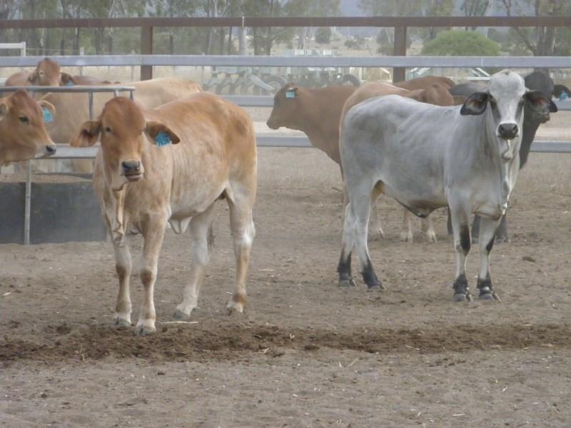 96 Backgrounder Heifers