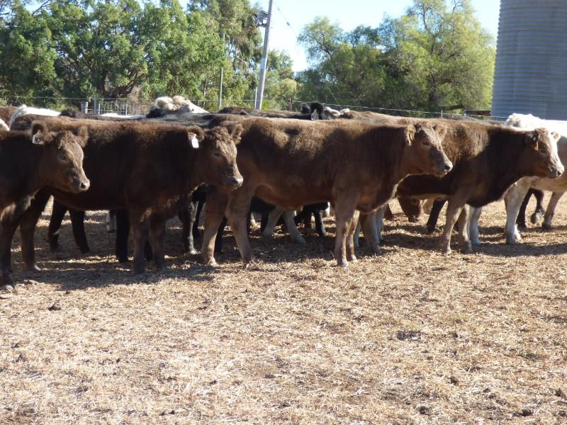 31 Weaned Heifers