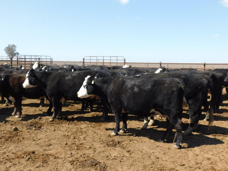 42 Station Mated Cows & 42 Calves