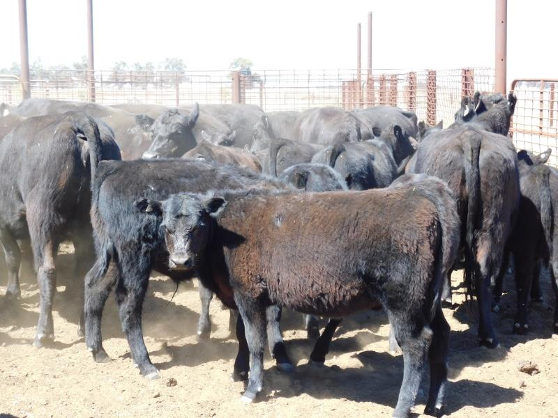 53 Station Mated Cows & 53 Calves
