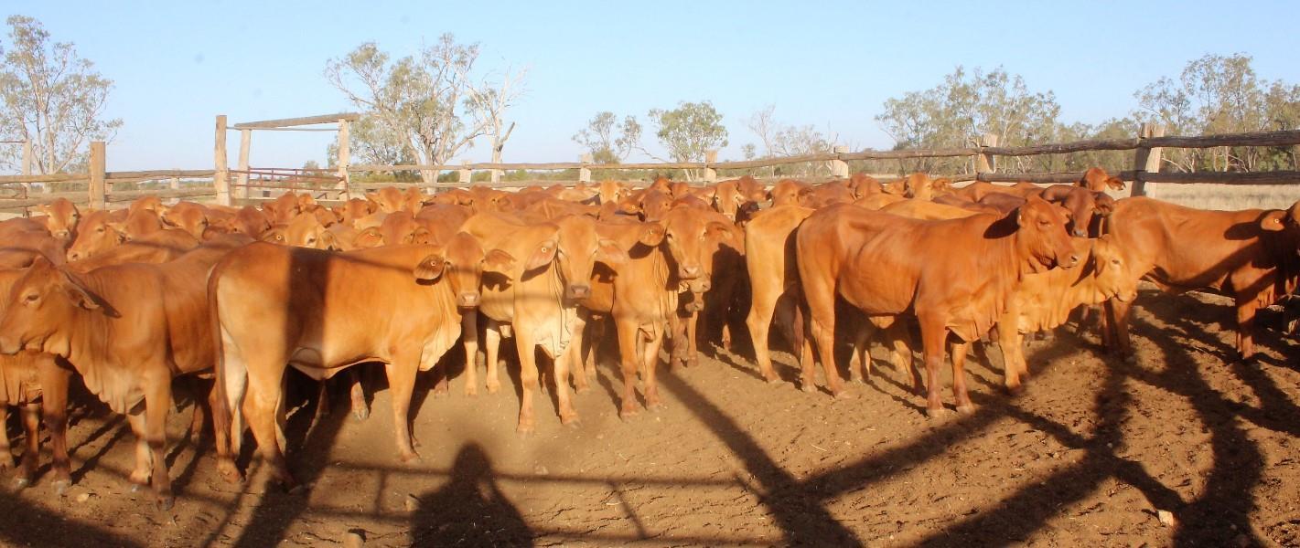 96 NSM Yearling Heifers