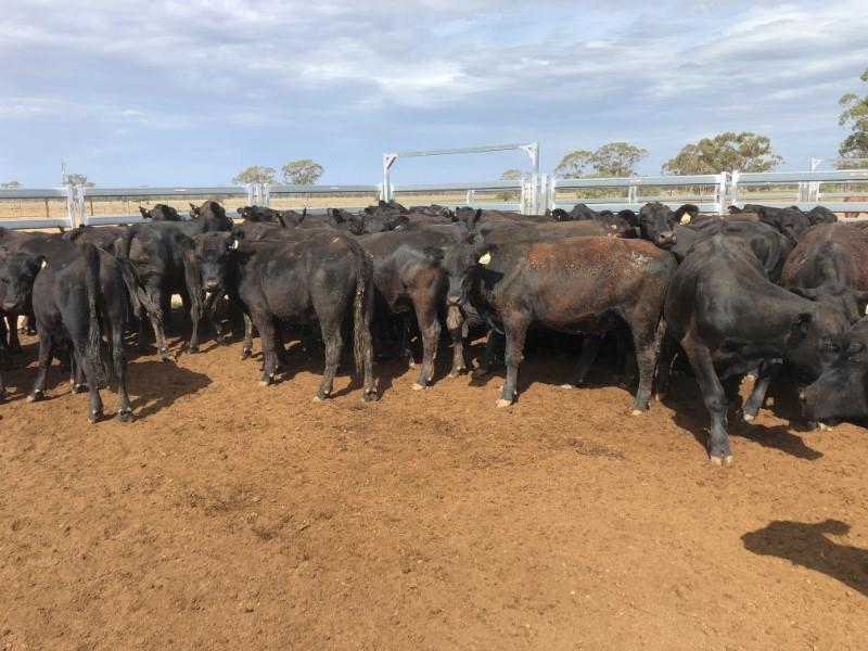 70 Feeder Steers