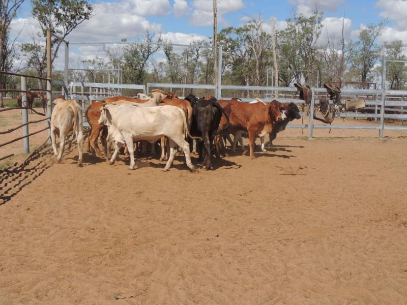 25 PTIC Heifers