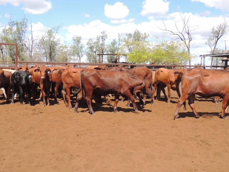 45 PTIC Heifers