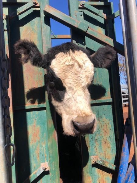 47 Cows