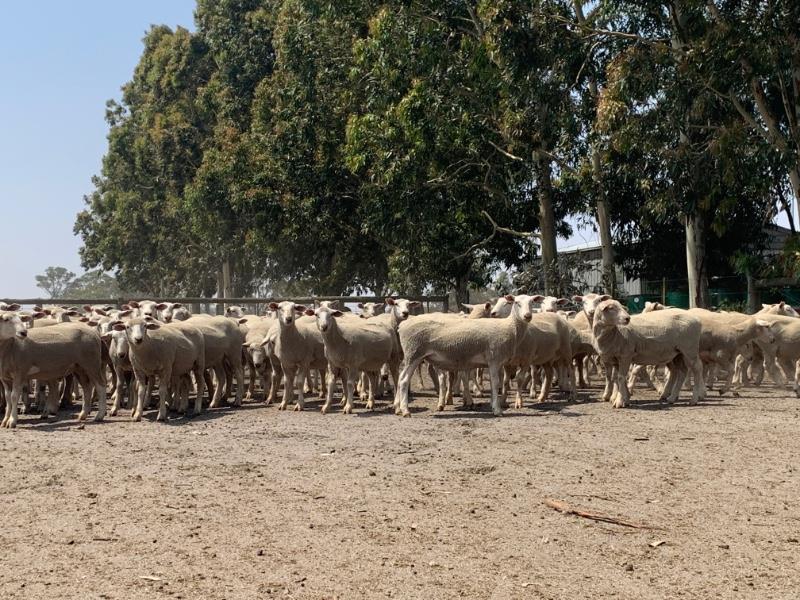 the herd online 168 ewe lambs. Black Bedroom Furniture Sets. Home Design Ideas