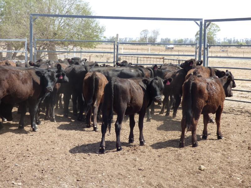 40 Backgrounder Heifers
