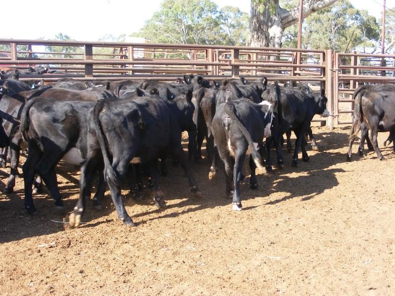 34 Backgrounder Heifers