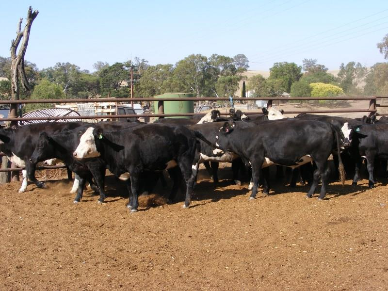 60 Feeder Heifers