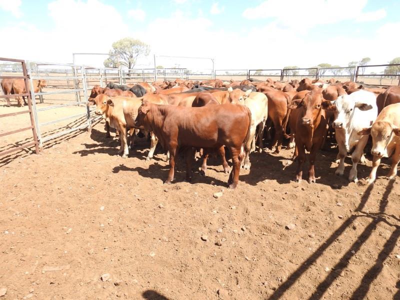 96 Weaned Steers