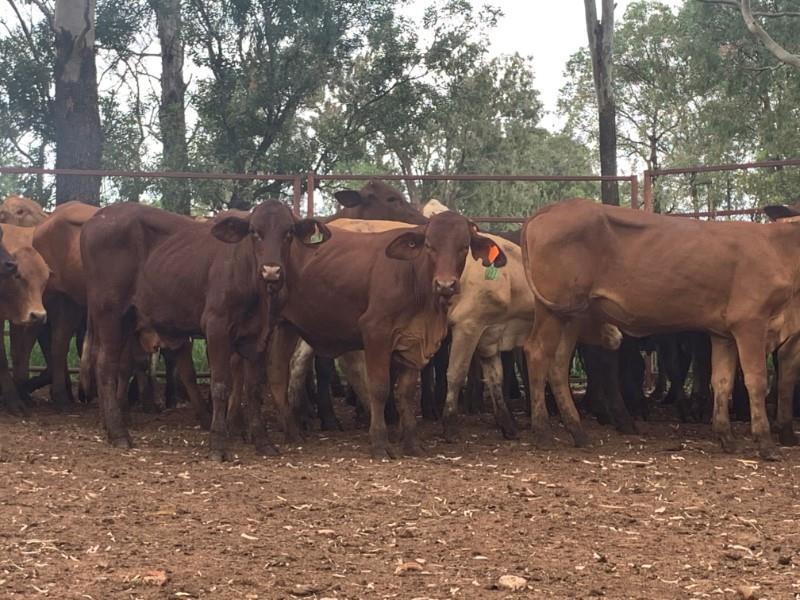 91 Backgrounder Heifers