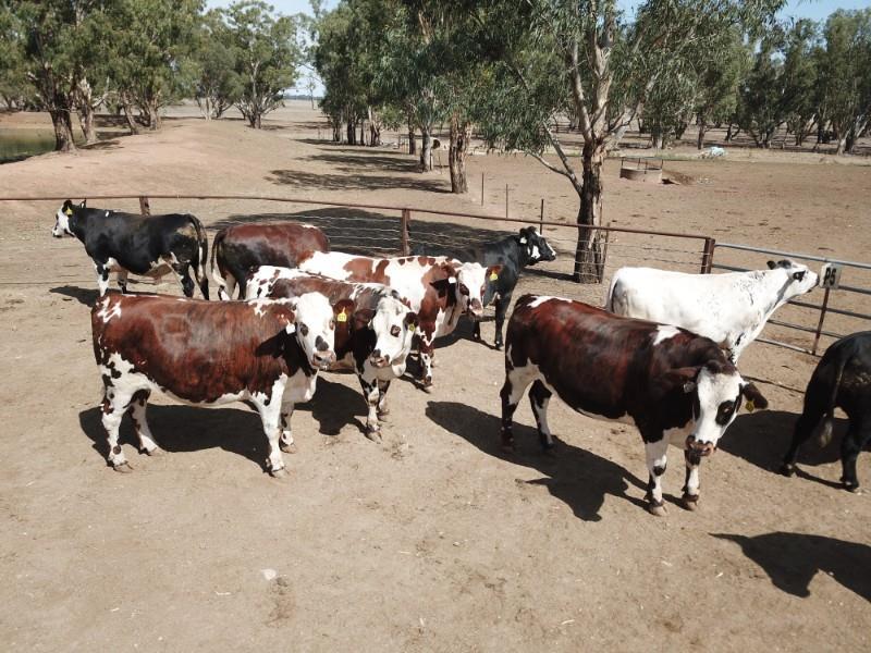 11 Grainfed Steers
