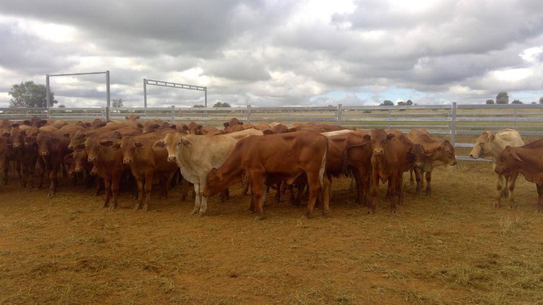 96 Backgrounder Steers