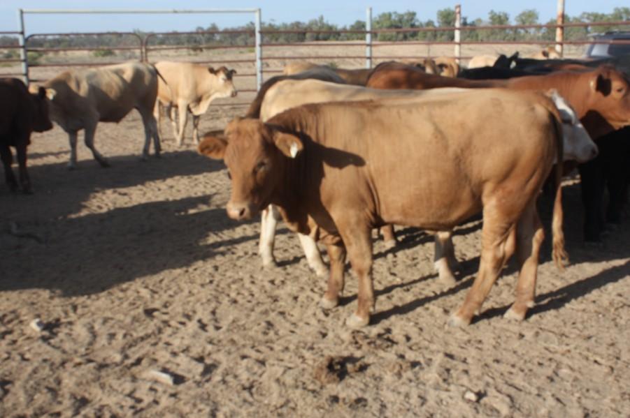 104 Feeder Steers