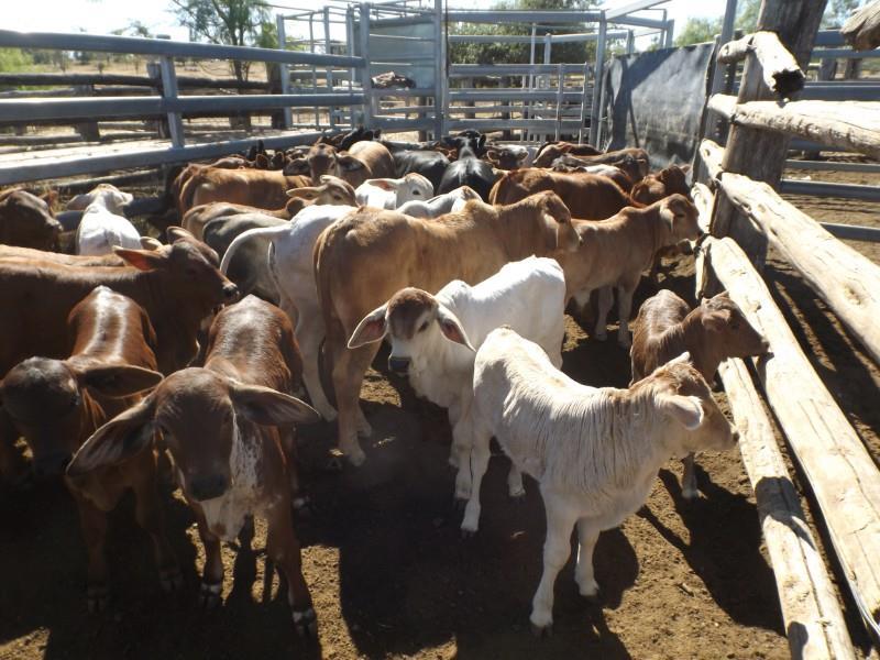54 NSM Cows & 54 Calves