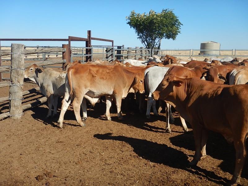 90 Steers