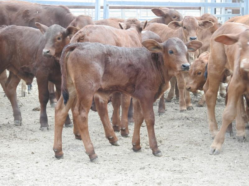 60 Station Mated Cows & 60 Calves