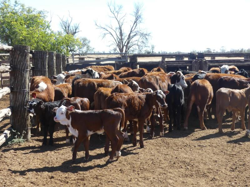 65 Station Mated Cows & 58 Calves