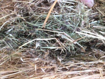 Clover/Ryegrass Hay, 3 x 3 x 8 Bales