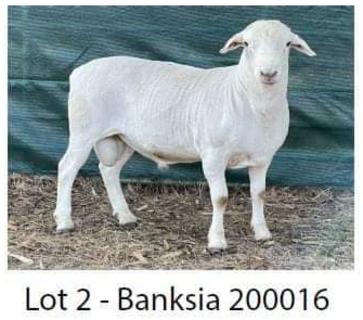 Banksia 200016