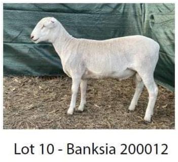 Banksia 200012