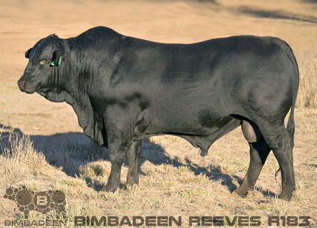 BIMBADEEN Q REEVES R183 (P)