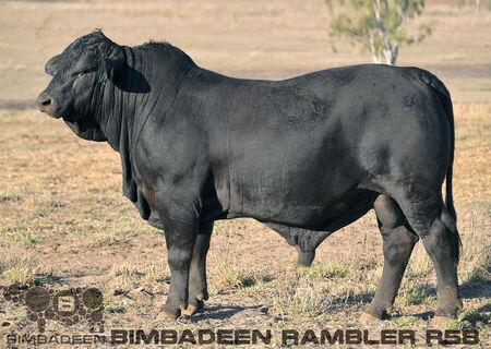BIMBADEEN Q RAMBLER R58 (P)