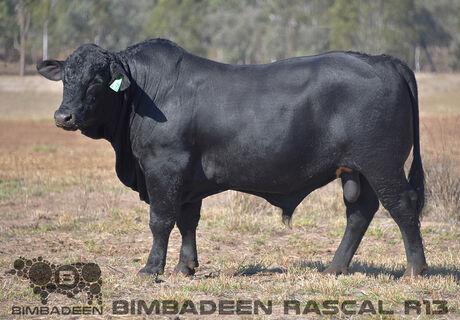BIMBADEEN Q RASCAL R13 (P)