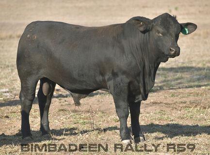BIMBADEEN Q RALLY R59 (P)