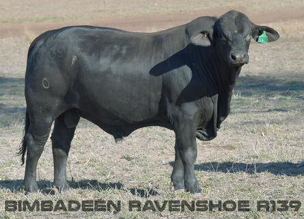 BIMBADEEN Q RAVENSHOE R139 (P)