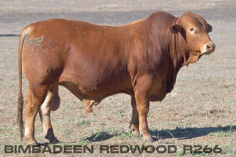 BIMBADEEN Q REDWOOD R266 (P)