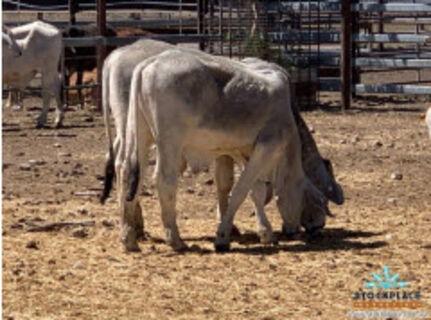 114 Brahman weaned steers