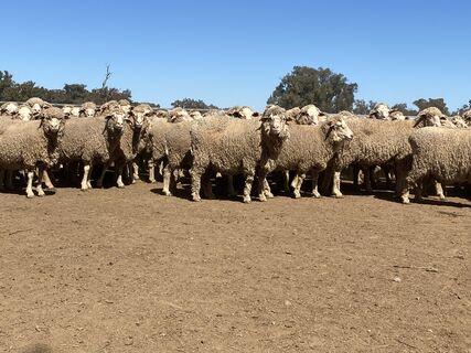 NSM mixed age merino ewes