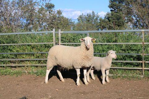 Ewe 68-20 & Ram Lamb 319-21