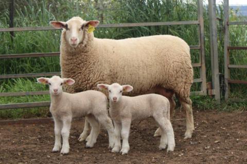 Ewe 146-20 & Twin Ewe Lambs 331-21 & 332-21