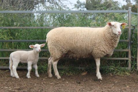 Ewe 141-20 & Ram Lamb 340-21