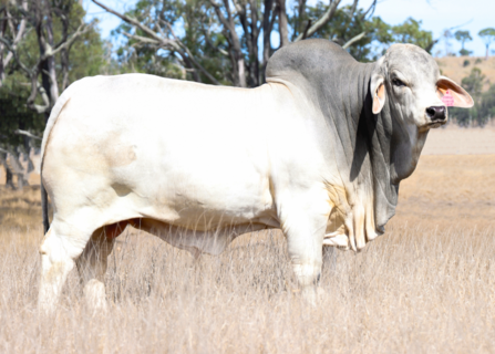 CARINYA DROVER 0/256 (IVF) (H) Image Available