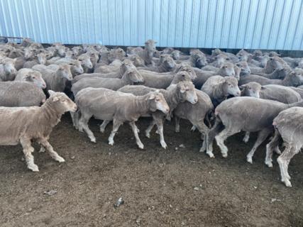 230 Poll Merino/Poll Merino Ewe Maidens