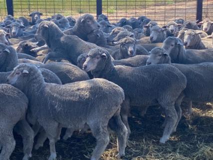 361 Poll Merino/Poll Merino Ewe Maidens