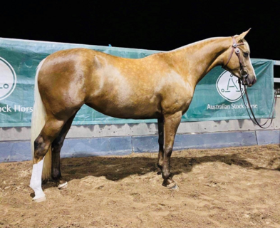 Tocal Showtime (LH) - 3yo Mare