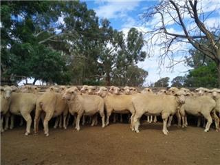 190 SIL Ewes
