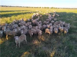 290 Ewes