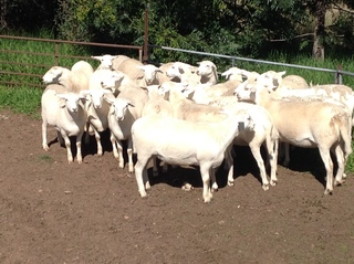 20 Station Mated Ewe Lambs