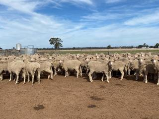 170 Scanned Empty Ewes