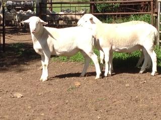 3 Ram Lambs