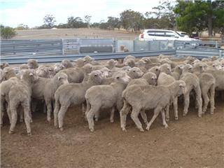 105 Store Wether Lambs